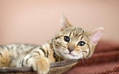 ¿Su gato orina fuera de la bandeja?