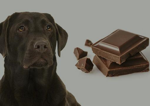 La intoxicación por chocolate